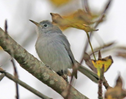1b21f-blue2bgray2bgnatcatcher