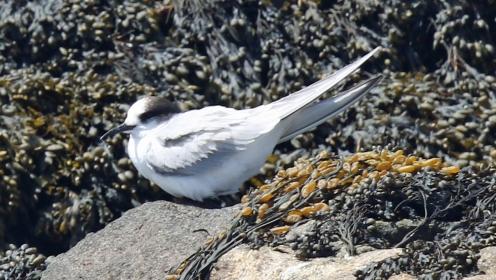 Arctic Tern Juvenile - Copy