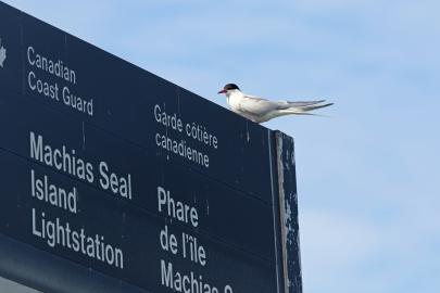 Arctic Tern Welcome - Copy