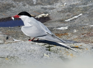 Arctic Tern with Fish 2
