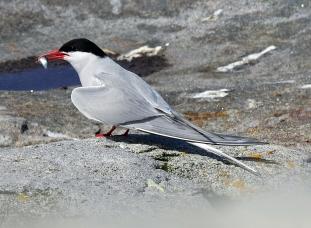 Arctic Tern with Fish 2