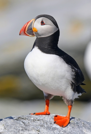 Atlantic Puffin 3 - Copy
