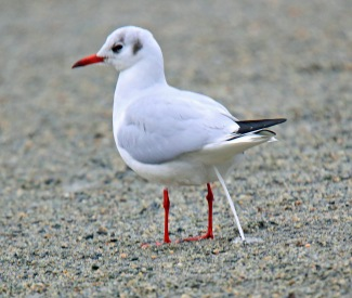Black Headed Gull Defecating