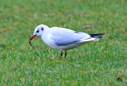Black Headed Gull with Worm