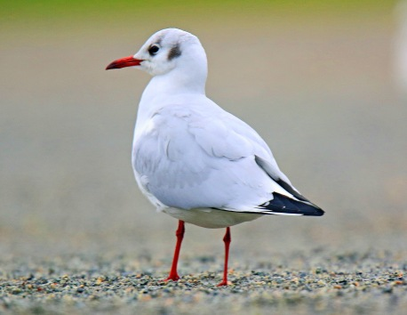 Black Headed Gull3