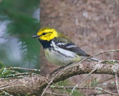 Black Throated Green Warbler 2