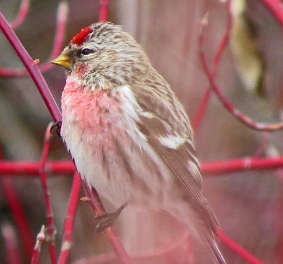Common Redpoll 3