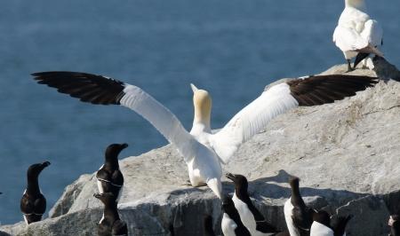Gannet Wings - Copy