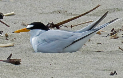 Least Tern on Nest