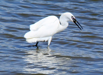 Little Egret (3)