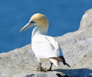 Northern Gannet - Copy