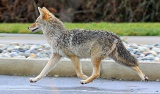 Semiahmoo Coyote