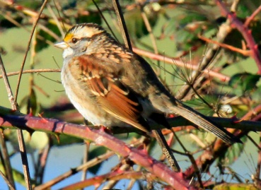 White Throated Sparrow3