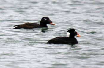 White Winged and Surf Scoters
