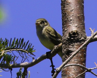 Yellow Bellied Flycatcher