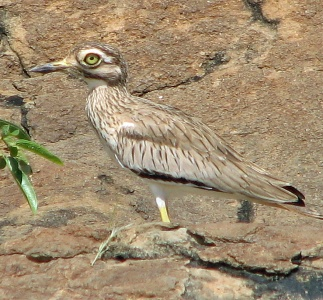 105 Senegal Thick-knee Baringo