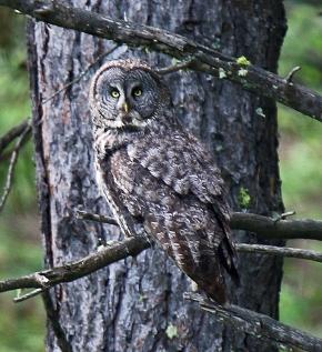 Great Gray Owl (2)