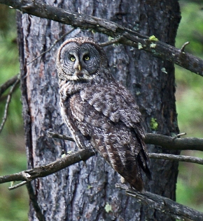 Great Gray Owl (2)