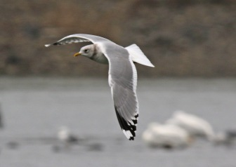 Mew Gull Flight