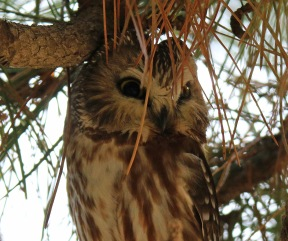 Northern Saw Whet Owl2