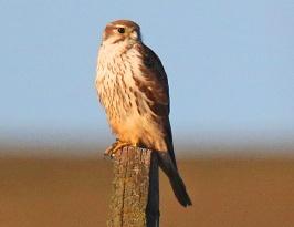 Prairie Falcon3