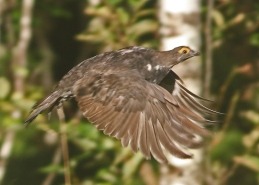 Sooty Grouse in Flight2