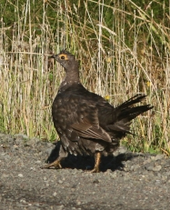 Sooty Grouse2