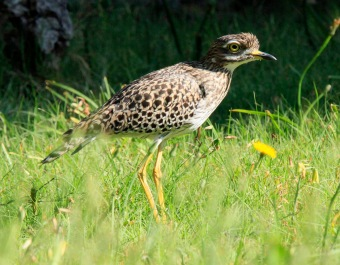 Spotted Thick Knee2