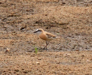 White Fronted Plover (2)