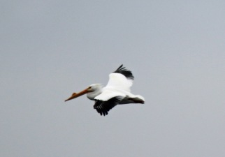 White Pelican Male in Flight