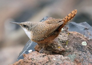 Canyon Wren1