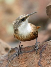 Canyon Wren4