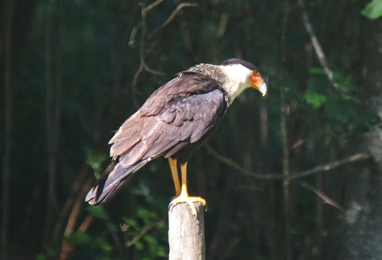 Crested Caracara - Copy