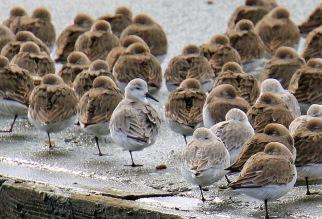 Dunlin and Sanderlings.jpg