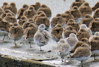 Dunlin and Sanderlings.jpg