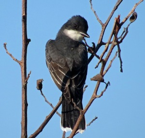 Eastern Kingbird (2)