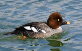 Goldeneye Female