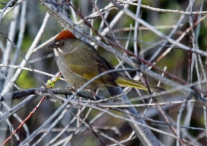 Green Tailed Towhee 2