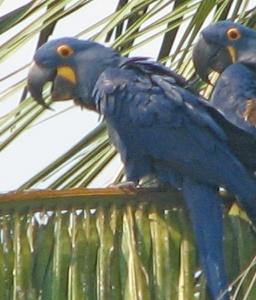 Hyacinth macaws 4