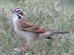 Lark Sparrow2