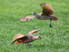 Long Billed Curlews