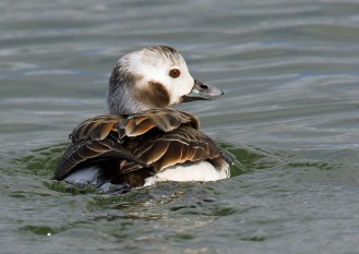 Long Tailed Duck Female