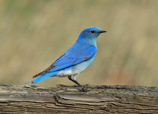 Mountain Bluebird1