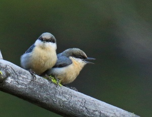 Pygmy Nuthatch Pair