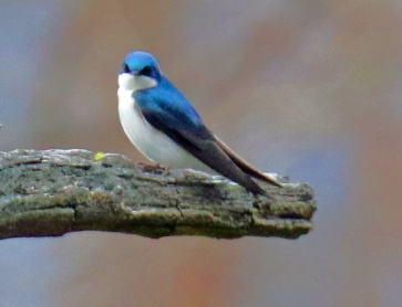 Tree Swallow2