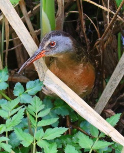 Virginia Rail 3 - Copy
