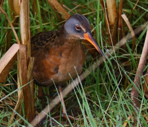 Virginia Rail - Copy