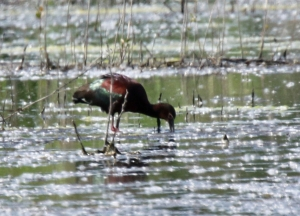 White Faced Ibis 2