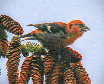White Winged Crossbill3