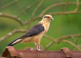 Yellow Caracara